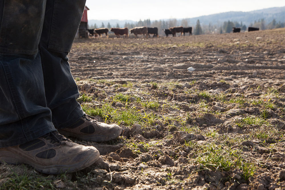 Feet-and-Cows