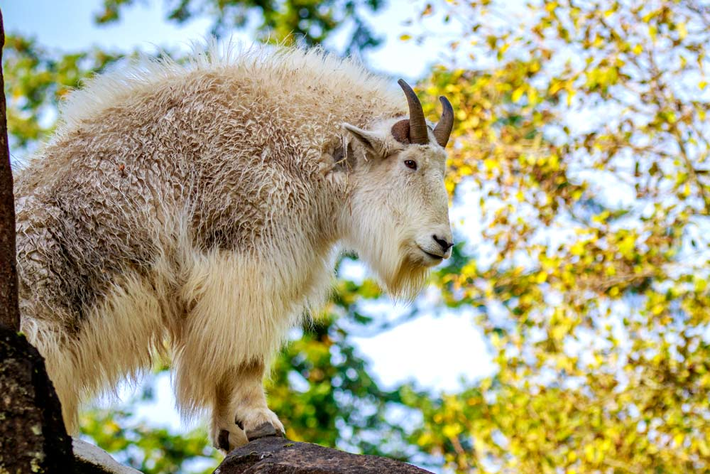 northwest wildlife hikes mountain goat