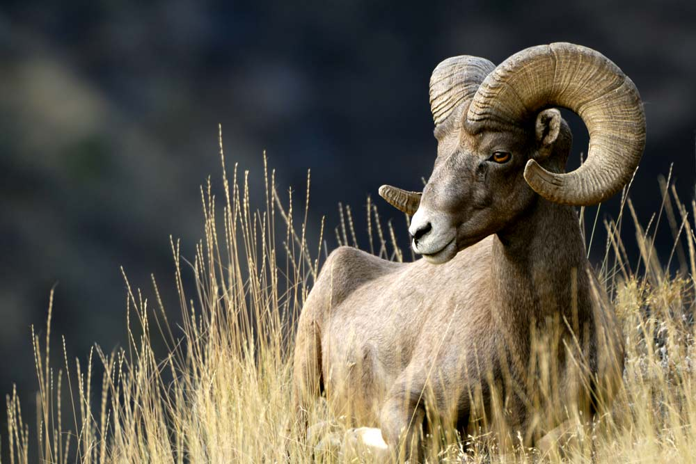 northwest wildlife hikes bighorn