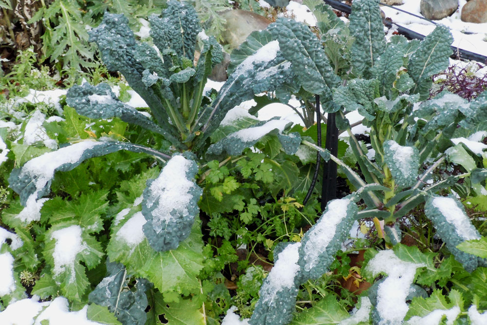 Kale is a hardy cool-season crop